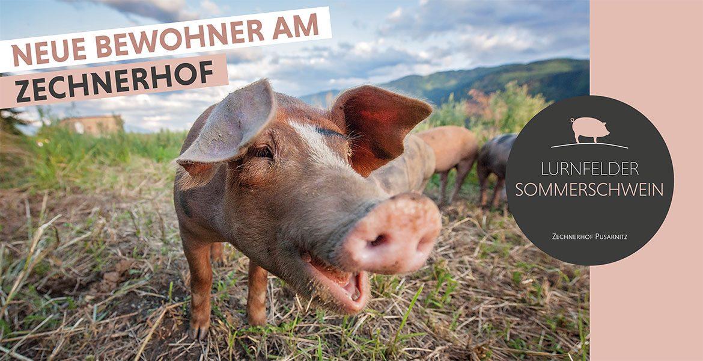 Lurnfelder Sommerschweine